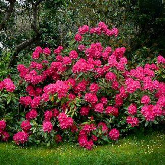 Flowering Evergreens